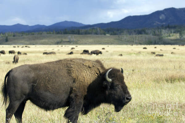 Wall Art - Photograph - Wild Buffalo In Teton National Park by Dustin K Ryan