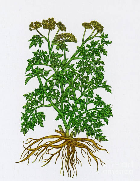Photograph - Wild Parsley by Science Source