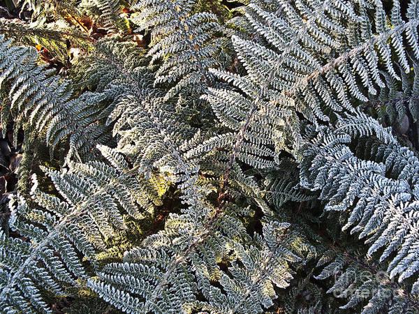 Fern Frost Photograph - Winter Fern  by Heiko Koehrer-Wagner