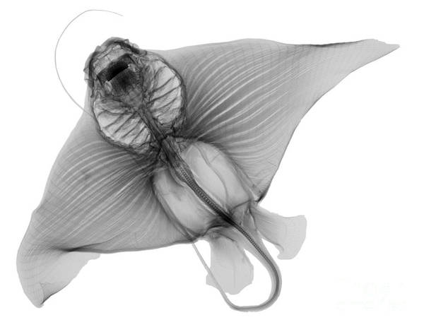 Photograph - X-ray Of Cownose Ray by Ted Kinsman