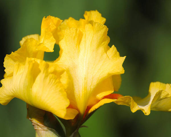 Photograph - Yellow And White Iris by Jai Johnson