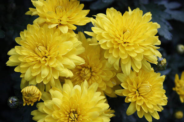Wall Art - Photograph - Yellow Mums by Nancy TeWinkel Lauren