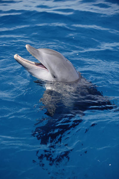 Photograph - Bottlenose Dolphin Tursiops Truncatus by Konrad Wothe