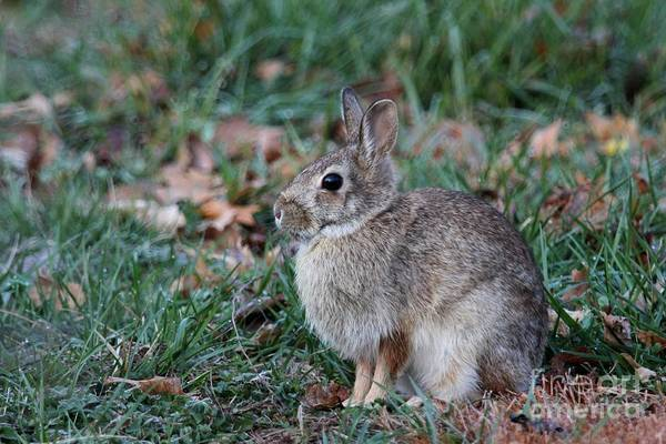 Sylvilagus Floridanus Photograph - Eastern Cottontail Rabbit by Jack R Brock