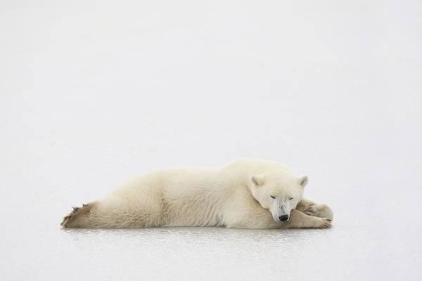Nap Wall Art - Photograph - Polar Bear by Richard Wear