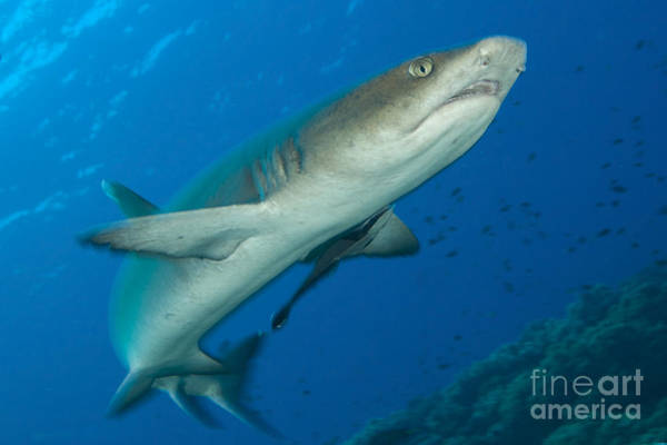 Kimbe Bay Wall Art - Photograph - Whitetip Reef Shark, Kimbe Bay, Papua by Steve Jones