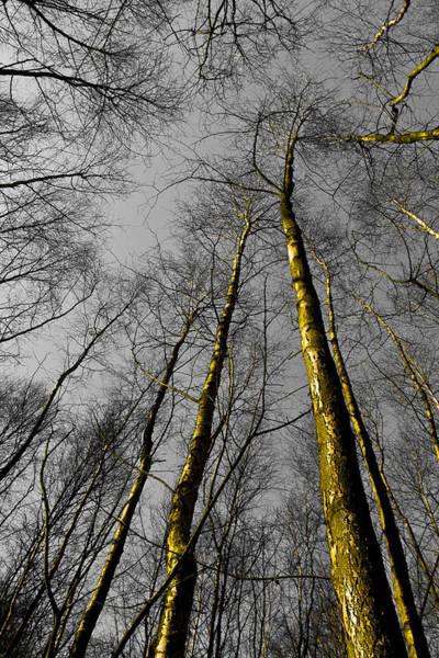 Epping Wall Art - Digital Art - Epping Forest Trees by David Pyatt