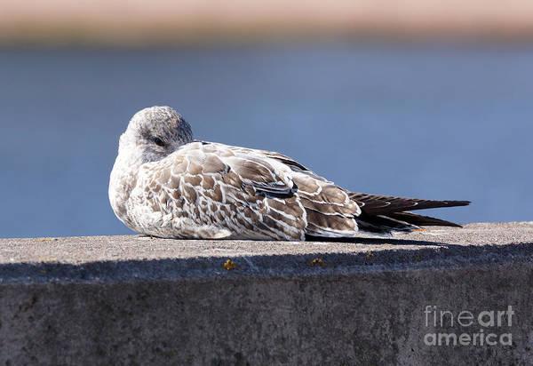 Wall Art - Photograph - Ring-billed Gull by Lori Tordsen