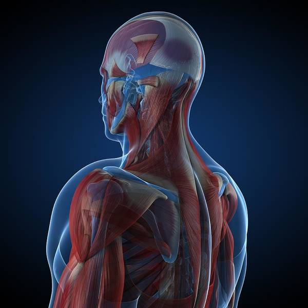 Muscle Tissue Digital Art - Male Musculature, Artwork by Sciepro