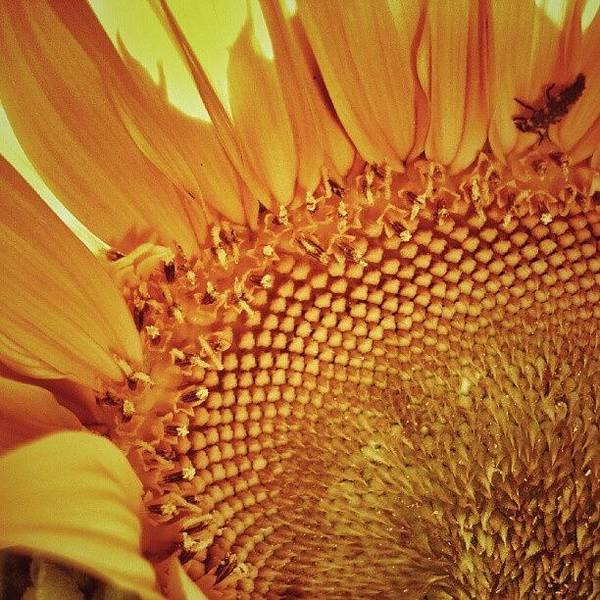 Sunflowers Wall Art - Photograph - #instamood #instagood #bestagram by Taras Paholiuk