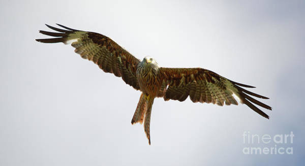 Photograph - Red Kite In Flight by Maria Gaellman