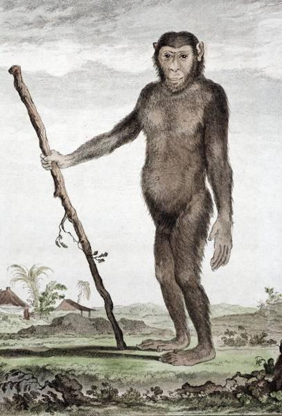 Wall Art - Photograph - 1770 Buffon's Jocko A Chimpanzee by Paul D Stewart
