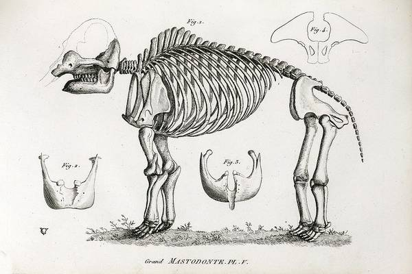 Wall Art - Photograph - 1812 American Mastodon Jefferson Mammoth by Paul D Stewart