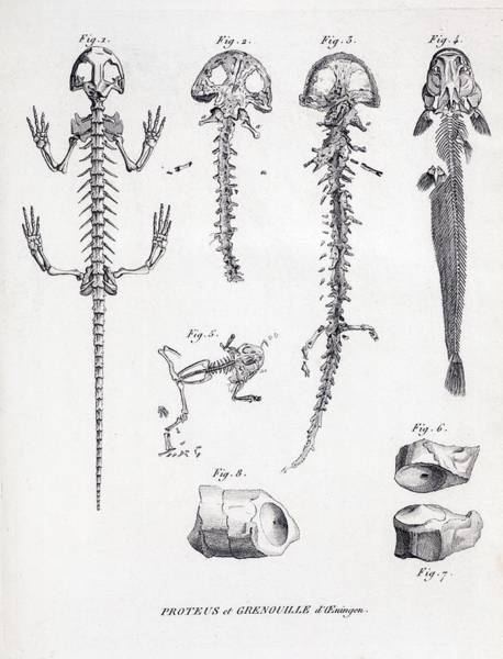 Creationist Wall Art - Photograph - 1812 Cuvier On Scheuchzer's Flood Victim by Paul D Stewart