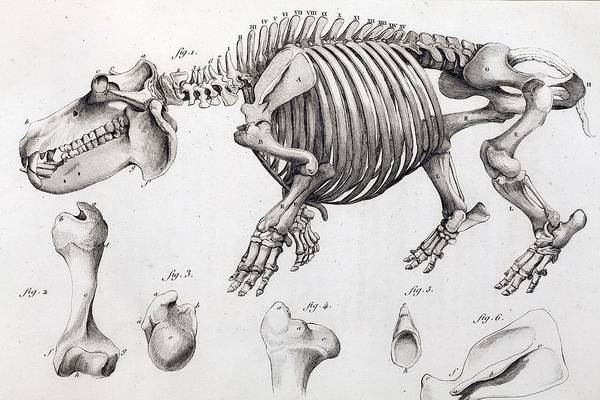Comparative Anatomy Wall Art - Photograph - 1812 Hippopotamus Skeleton By Cuvier by Paul D Stewart