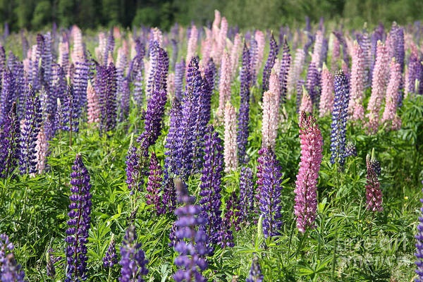 Cabot Trail Photograph - A Field Of Lupins by Ted Kinsman