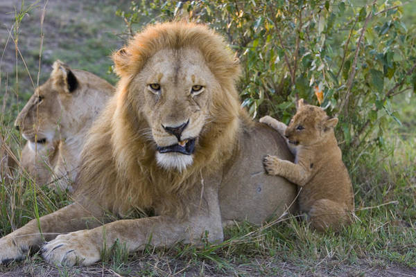 Photograph - African Lion Cub Playing With Adult by Suzi Eszterhas
