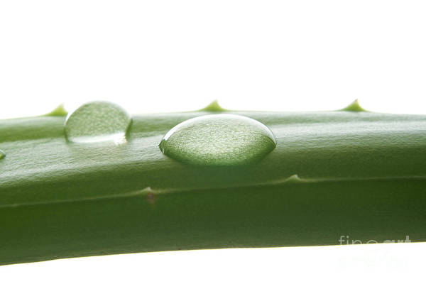 Wall Art - Photograph - Aloe Vera by Blink Images