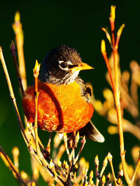 Wall Art - Photograph - American Robin by Paul Ge