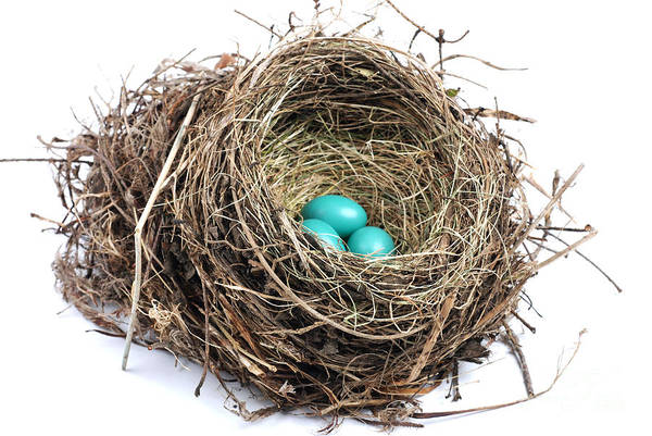 Robin Egg Blue Photograph - American Robin Nest by Photo Researchers, Inc.