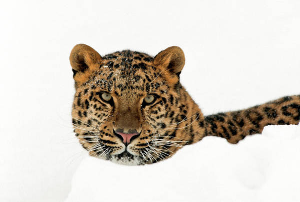 Photograph - Amur Leopard In Snow by D Robert Franz