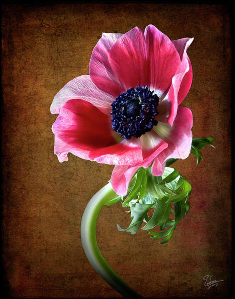 Photograph - Anemone  by Endre Balogh