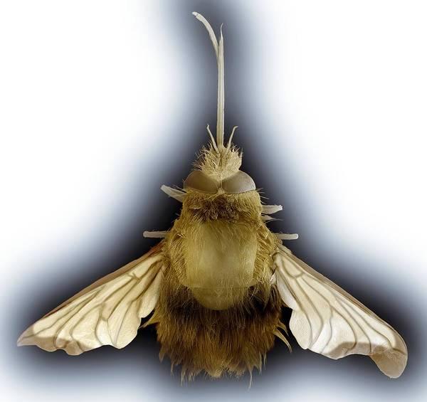 Hemaris Photograph - Bee Hawk Moth, Sem by Steve Gschmeissner