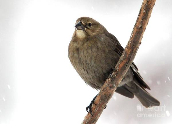 Molothrus Ater Photograph - Brown-headed Cowbird by Jack R Brock