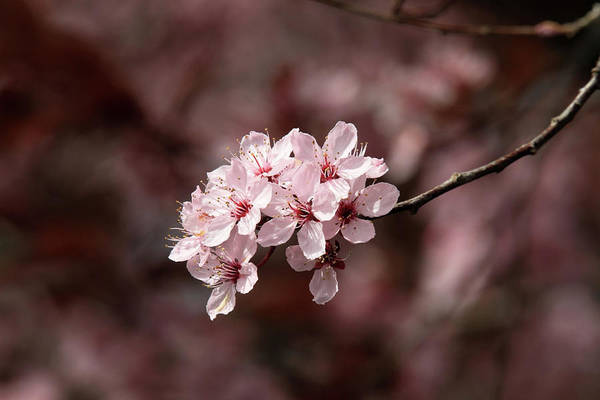 Photograph - Cherry Blossom Tree by Pierre Leclerc Photography