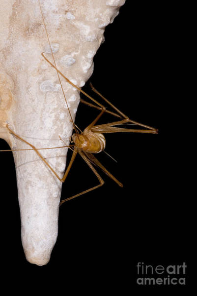 Wall Art - Photograph - Chinese Cave Cricket by Dant� Fenolio