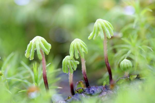 Liverwort Photograph - Common Liverwort After Forest Fire by Bjorn Svensson