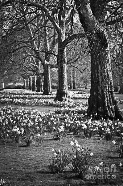 Photograph - Daffodils In St. James's Park by Elena Elisseeva