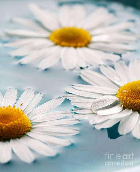 Wall Art - Photograph - Daisies Floating In Water by Kati Finell