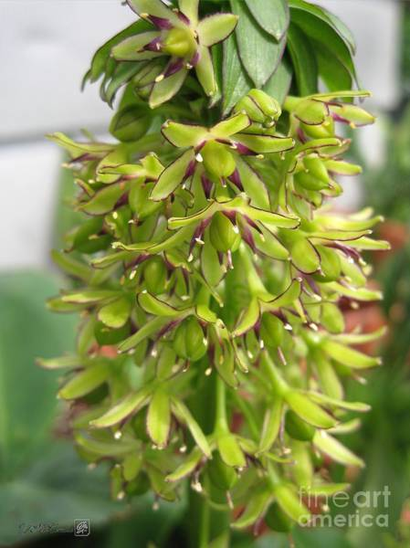 Pineapple Lily Photograph - Eucomis Named Bicolor by J McCombie