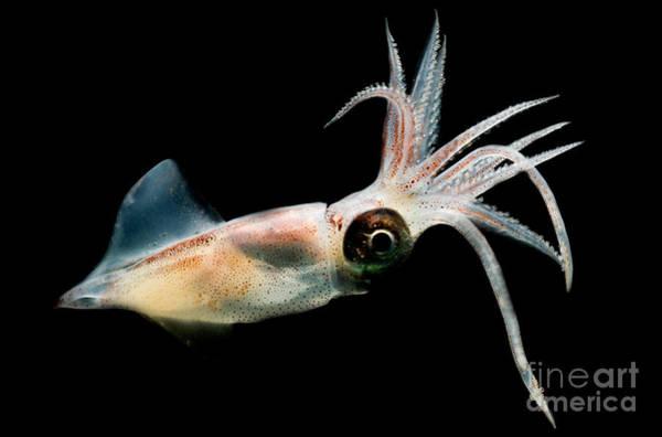 Photograph - Eye Flash Squid by Dante Fenolio