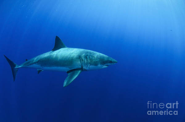 Photograph - Female Great White Shark, Guadalupe by Todd Winner