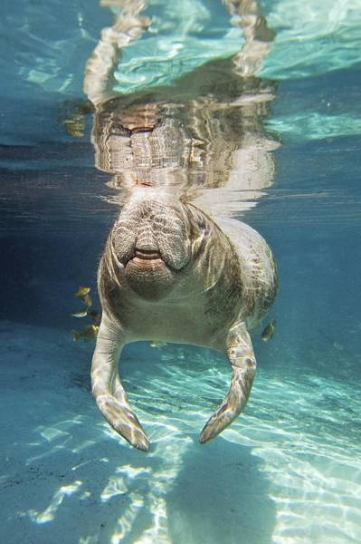 West Indian Manatee Photograph - Florida Manatee Swimming by Clay Coleman