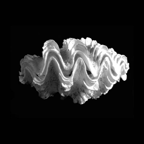 Photograph - Giant Frilled Clam Seashell Tridacna Squamosa by Frank Wilson
