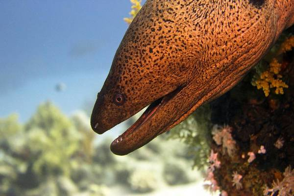 Wall Art - Photograph - Giant Moray Eel by Dimitris Neroulias