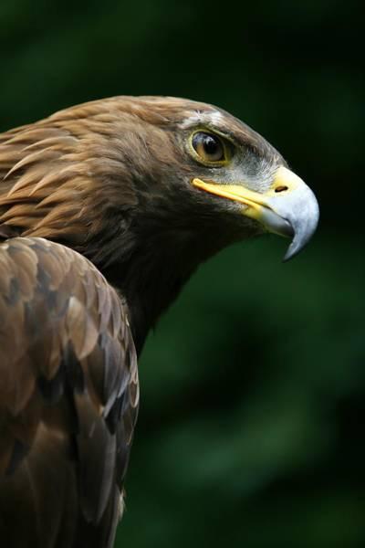 Falconiformes Photograph - Golden Eagles Face Aquila Chrysaetos by Deddeda