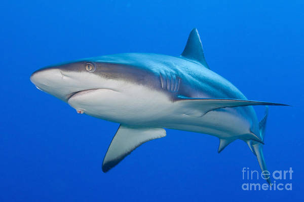 Carcharhinidae Photograph - Gray Reef Shark, Kimbe Bay, Papua New by Steve Jones