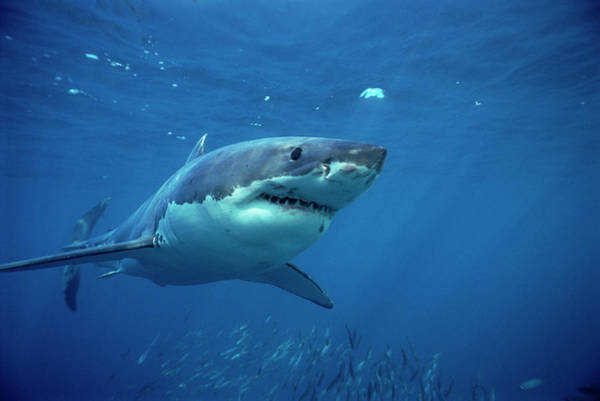 Photograph - Great White Shark Carcharodon by Mike Parry