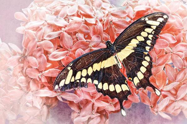 Photograph - Giant Swallowtail-2 by Rudy Umans