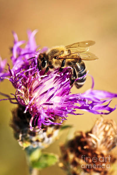 Honeybees Wall Art - Photograph - Honey Bee  by Elena Elisseeva