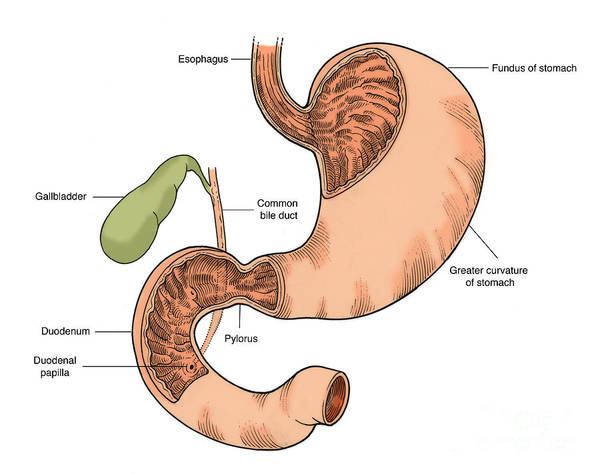 Common Bile Duct Photograph - Illustration Of Stomach And Duodenum by Science Source