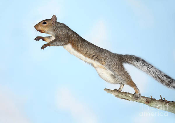 Photograph - Jumping Gray Squirrel by Ted Kinsman
