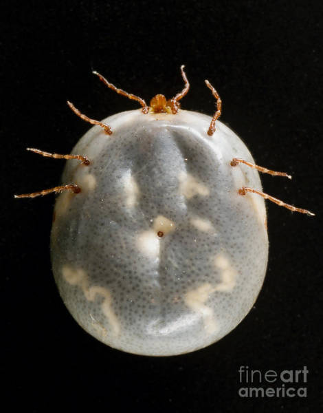 Stari Photograph - Lone Star Tick by Science Source