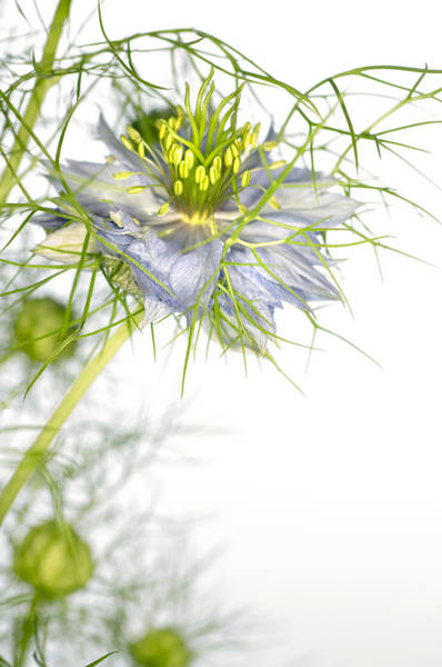 Love In The Mist Photograph - Love In The Mist Flower (nigella Sp.) by Lawrence Lawry