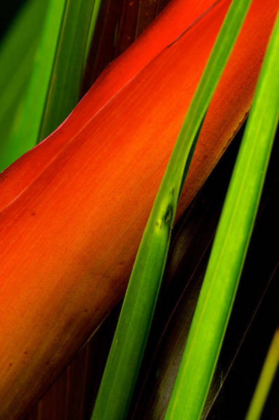 Photograph - Photograph Of A Parrot Flower Heliconia by Perla Copernik