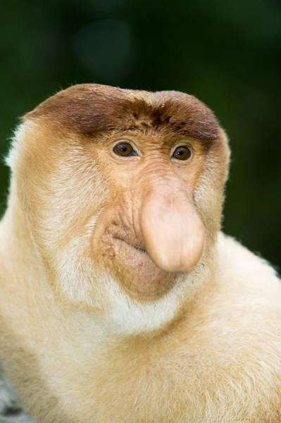 Nasalis Photograph - Proboscis Monkey by Tony Camacho